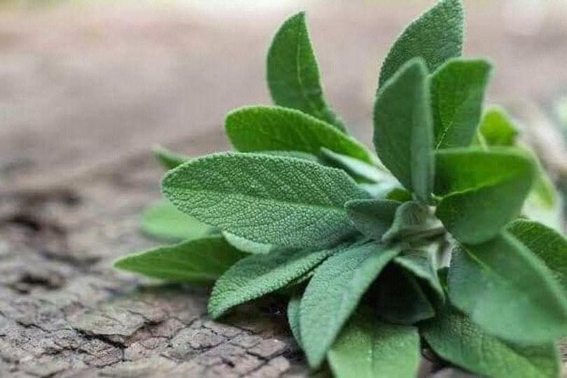 نبتة المرامية.. هل هي مفيدة لعلاج فيروس كورونا المستجد؟