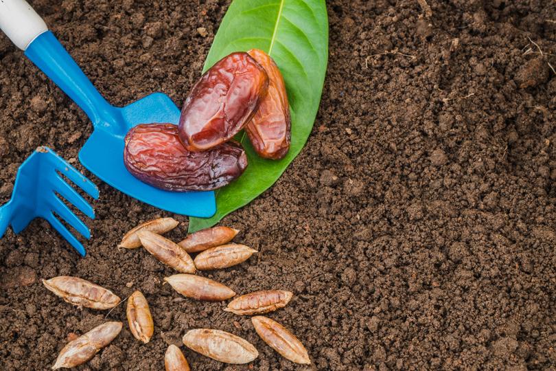 نواة التمر.. دواء سحري في رمضان