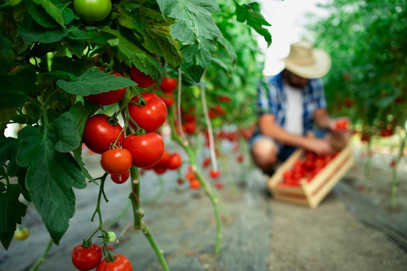 في موسم الصيف.. تناول الطماطم الحمراء الشهية والمفيدة