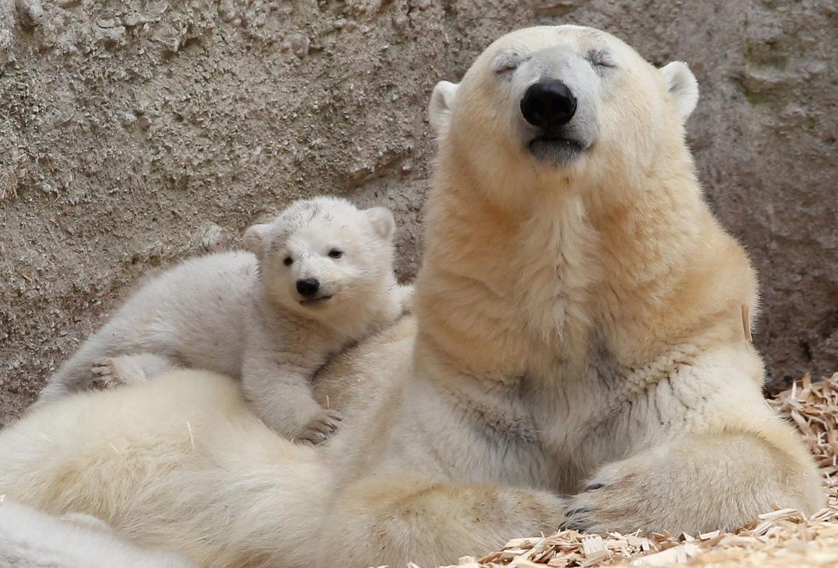 احد اشبال الدب القطبي التوأم بعمر 14 أسبوعا تركب على والدتها جيوفانا خلال أول عرض لها لوسائل الإعلام في حديقة حيوان هيلابرون في 19 مارس 2014، في ميونيخ، ألمانيا.