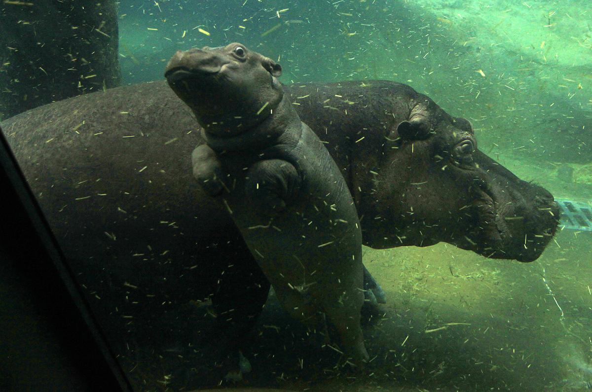 عجل فرس النهر يسبح تحت الماء بالقرب من أمه ماروسكا في حديقة حيوان براغ، جمهورية التشيك، في 24 فبراير 2016.