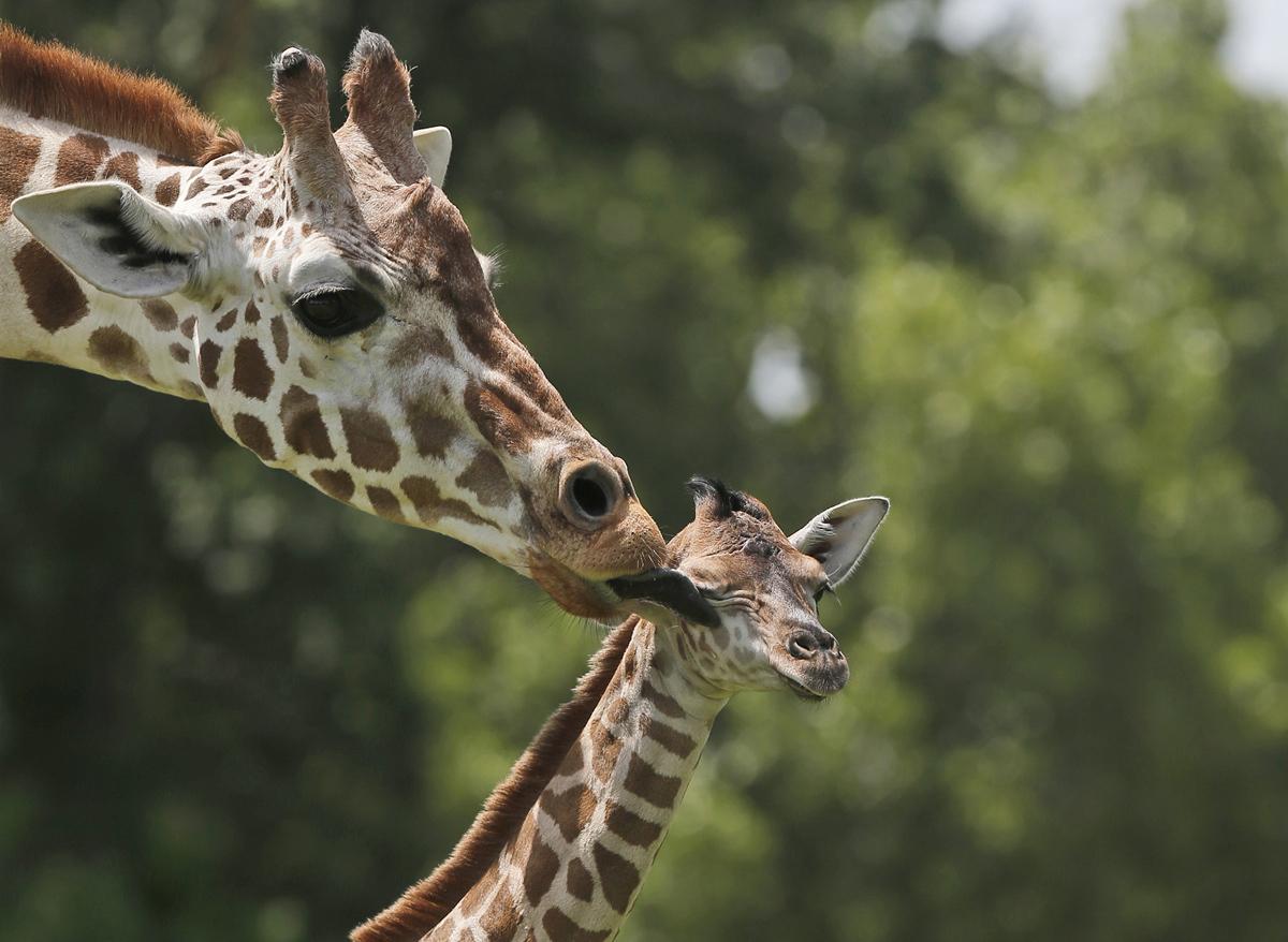 عجيلة الزرافة، ولدت في الصباح الباكر من 22 يونيو 2015، تمسح من قبل والدتها، ايلي، في حديقة حيوان مدينة أوكلاهوما في مدينة أوكلاهوما، في 23 يونيو 2015.