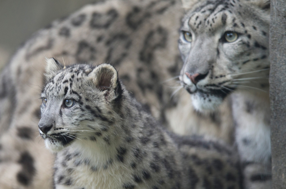 تستكشف ساراني، وهي نمر الثلج، موطنها مع أحد أشبالها التي تبلغ من العمر أربعة أشهر والتي كانت تجرى لأول مرة في حديقة حيوان بروكفيلد في 7 أكتوبر 2015 في بروكفيلد بولاية إلينوي.