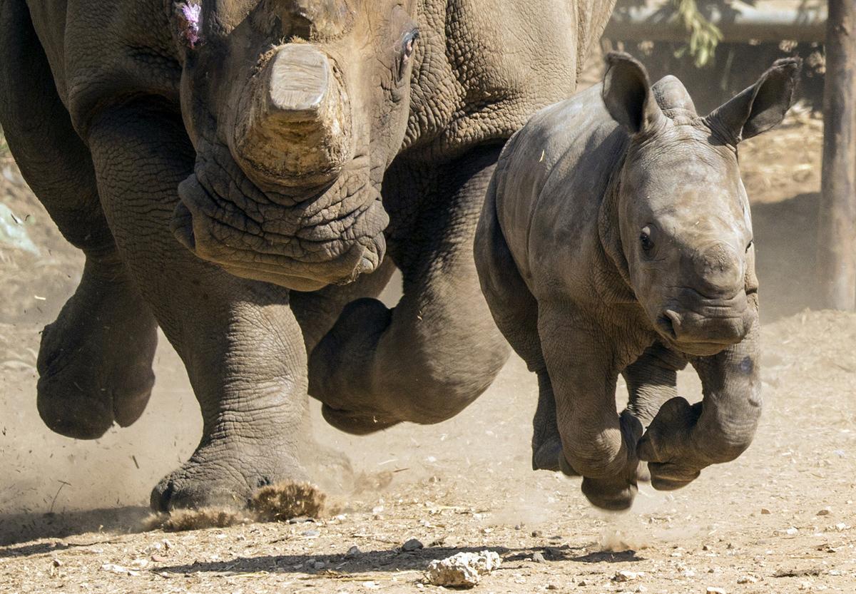 عجل وحيد القرن وهو يركض امام والدته التي تظهر في الصورة بدون قرن نتيجة قصه من قبل الصيادين