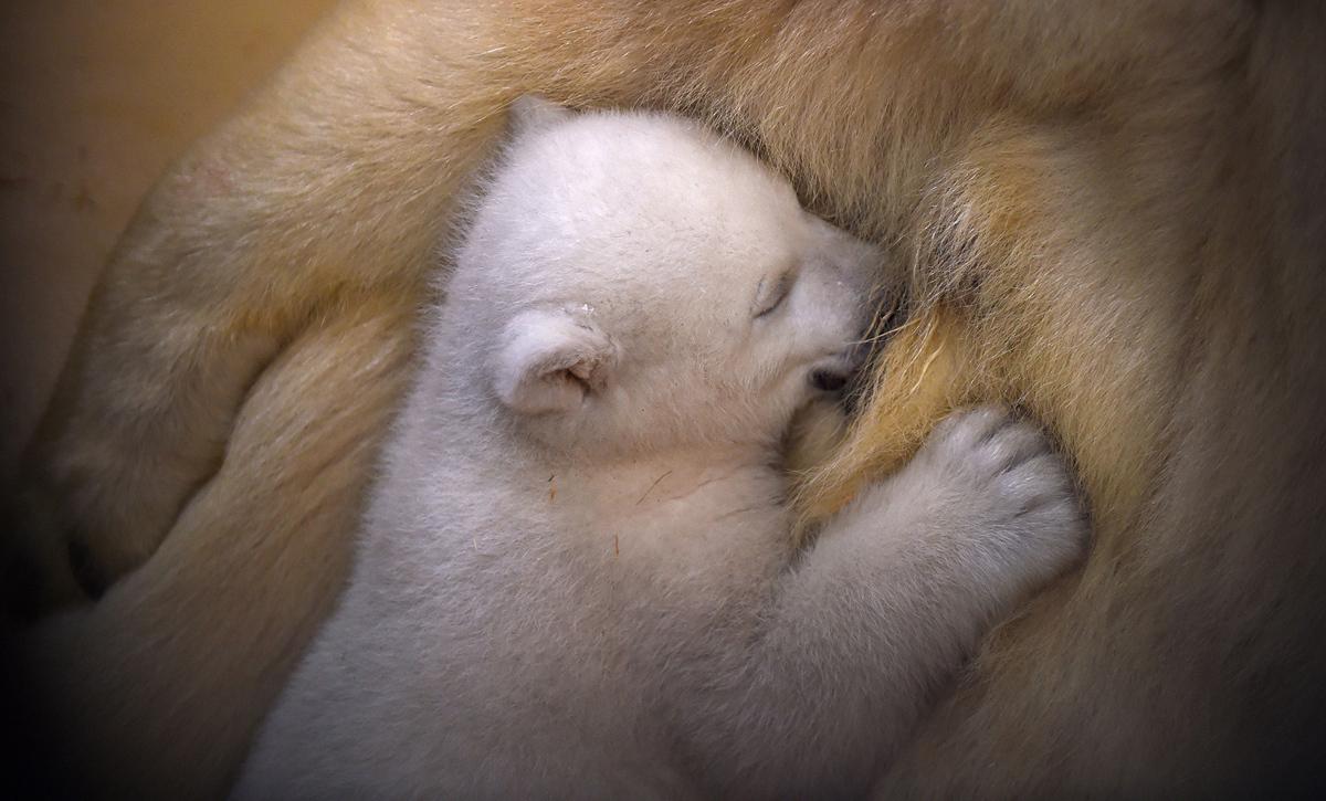 انثنى الدب الابيض ترضع مولودها الجديد