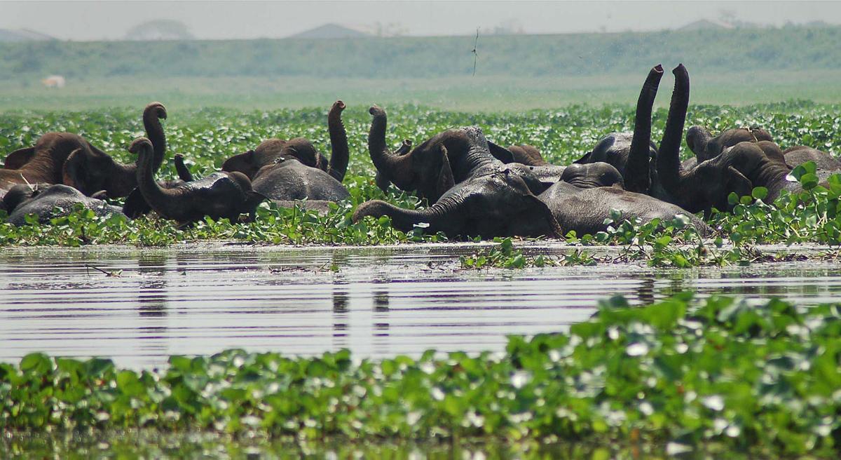 قطيع من الأفيال البرية تلعب في الأراضي الرطبة في ديباربيل، وهي محمية للحياة البرية، في ديباربيل، على بعد حوالي 30 كيلومترا (19 ميلا) غرب غوهاتي، الهند، في 3 مايو / أيار 2007. ما لا يقل عن ثلاثين ألفا من الفيلة البرية تأتي من غاربهانغا إلى ديباربيل لتبريد أنفسهم في الماء.