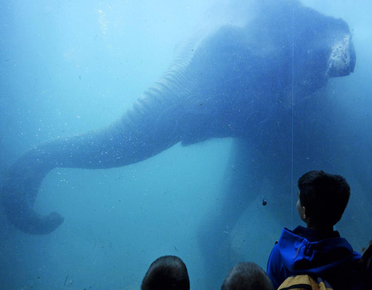 فيل يسبح خلف نافذة في بركة السباحة الداخلية لحديقة حيوان لايبزيغ، في ألمانيا، في 30 سبتمبر 2012.
