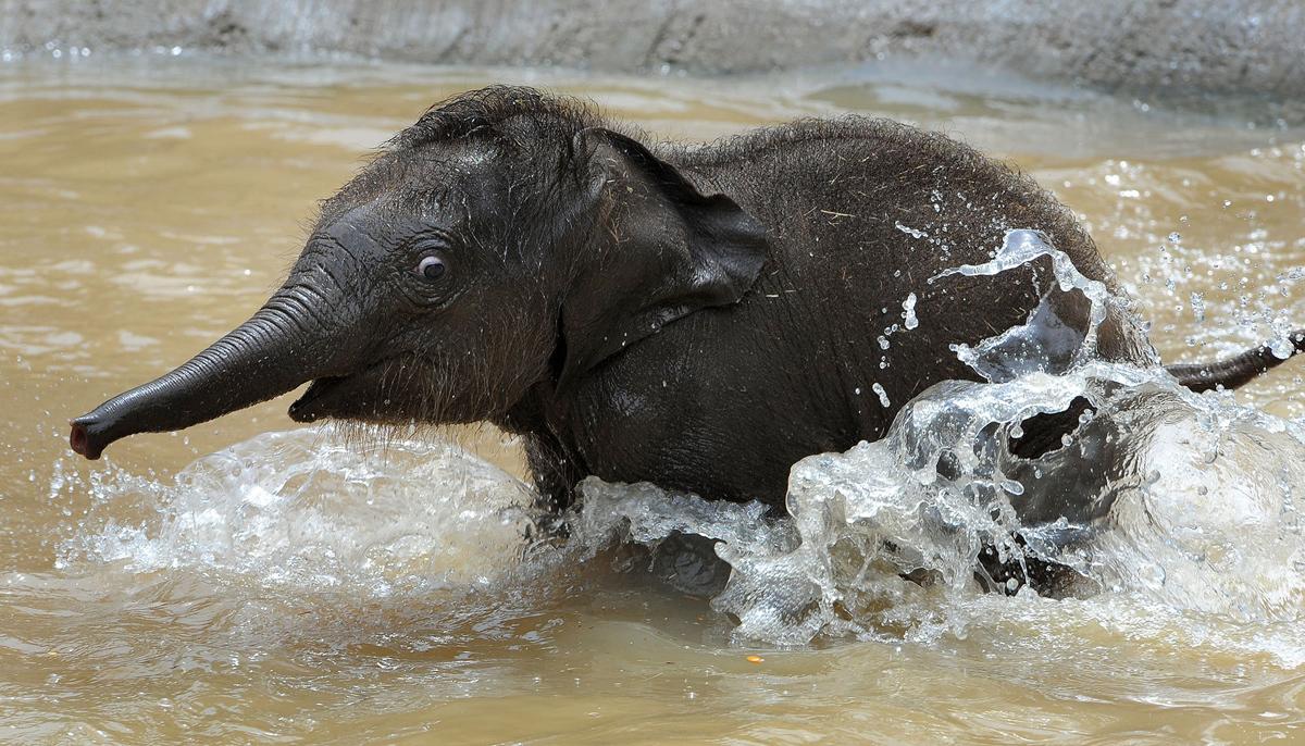 الفيل الآسيوي الجديد لحديقة حيوان ملبورن - الذي يدعى بيبي في الوقت الحالي - يذهب لتشغيله من خلال الماء بعد عرضه على الجمهور لأول مرة في 10 فبراير 2010.