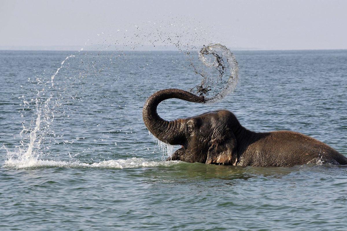 الفيل السويسري الذي يعمل في السرك الوطني السيرك الوطني، يأخذ حماما في بحيرة جنيف على مقربة من لوزان سويسرا.