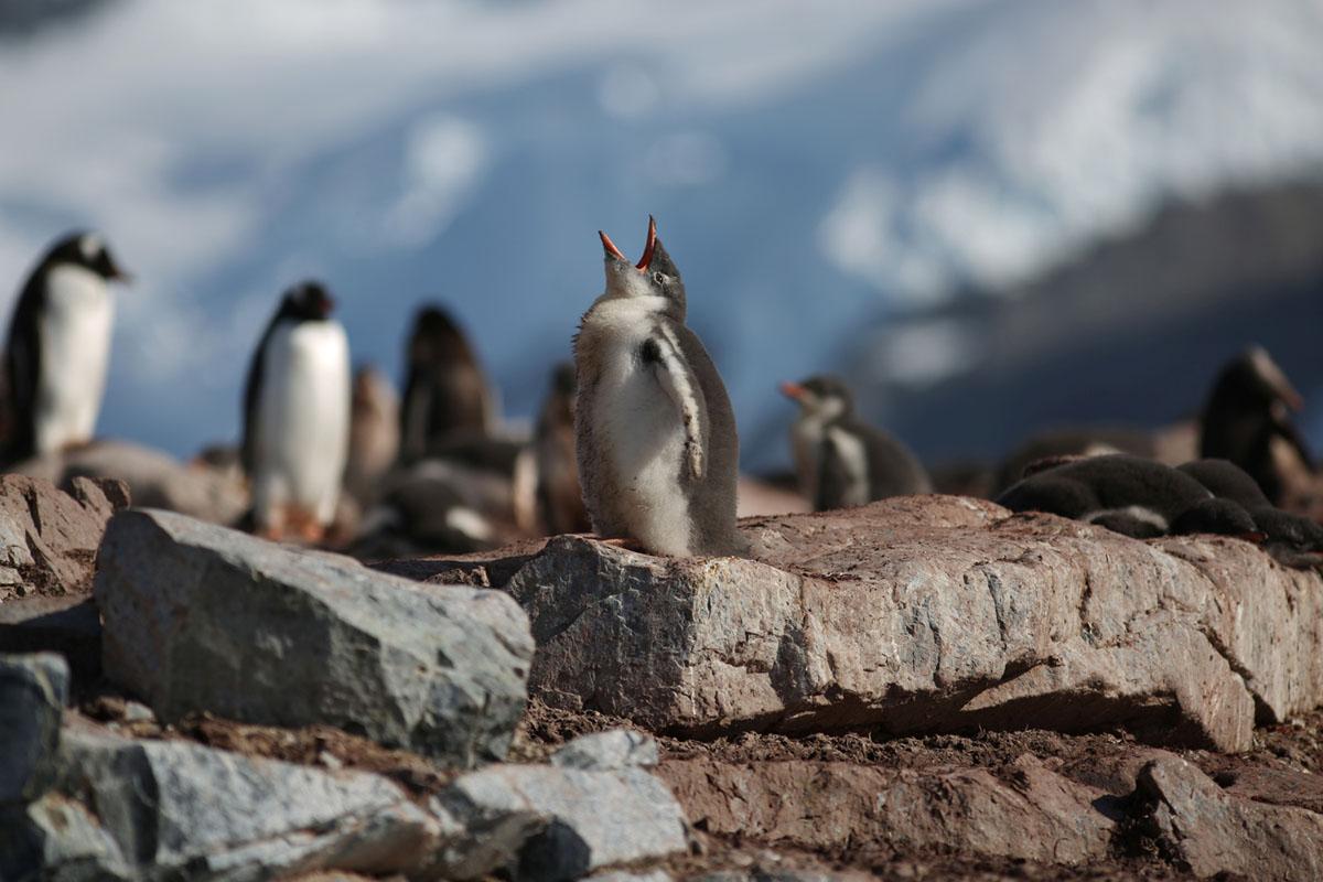 طيور البطريق في جزيرة كوفيرفيل، أنتاركتيكا، في 15 فبراير، 2018.