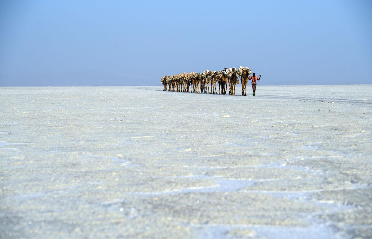 قافلة الجمال التي تحمل الملح المجموع باليد يتم قيادتها عبر سهل الملح في منخفض داناكيل في 22 يناير 2017، بالقرب من دالول، إثيوبيا.