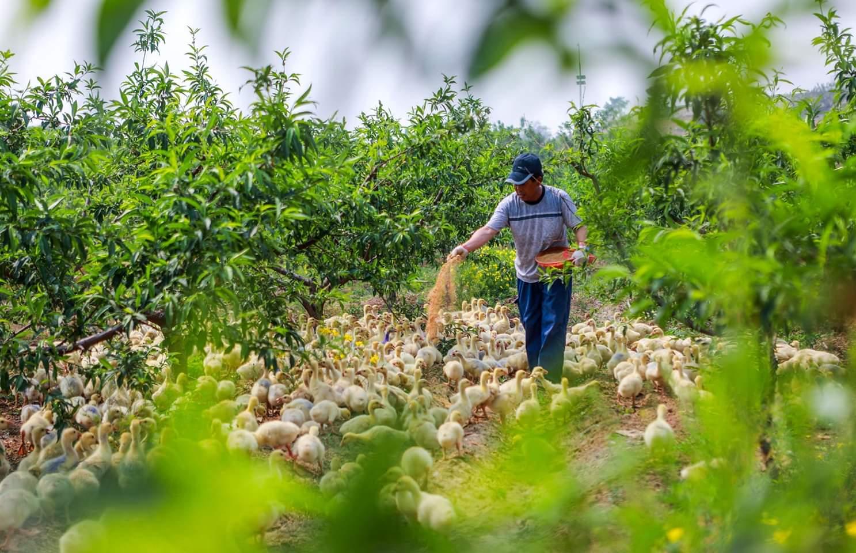 تربية الإوز تحت الأشجار لزيادة دخول المزارعين في شمالي الصين    مزارع محلي يربي الإوز وسط الأشجار في قرية لينجياتشوانغ بمدينة هاندان في مقاطعة خبي بشمالي الصين، حيث سعت القرية إلى تطوير اقتصاد تحت الأشجار، أي دمج تربية الدواجن مع زراعة الأشجار والمحاصيل الزراعية، لزيادة دخول المزارعين المحليين.