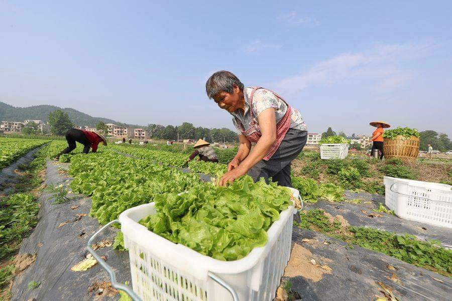 قرويون يحصدون الخس في قرية دونغبينغ بمدينة تونغرن في مقاطعة قويتشو جنوب غربي الصين. وفي الأيام الأخيرة، استقبل القرويون موسم حصاد الخس.