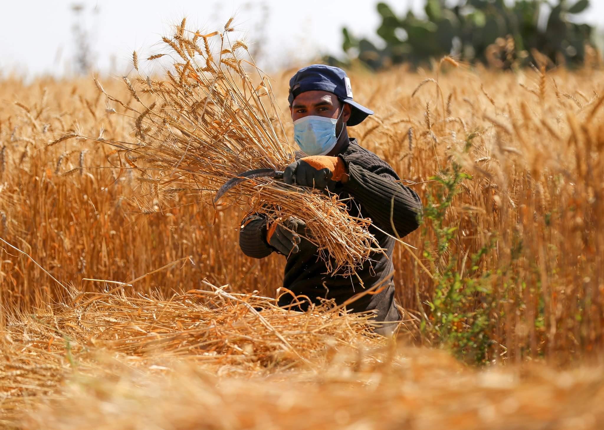 مزارع فلسطيني يرتدي قناع وجه يحصد القمح في حقل بالقرب من الحدود مع إسرائيل في مدينة خانيونس جنوب قطاع غزة، 10 مايو 2020.