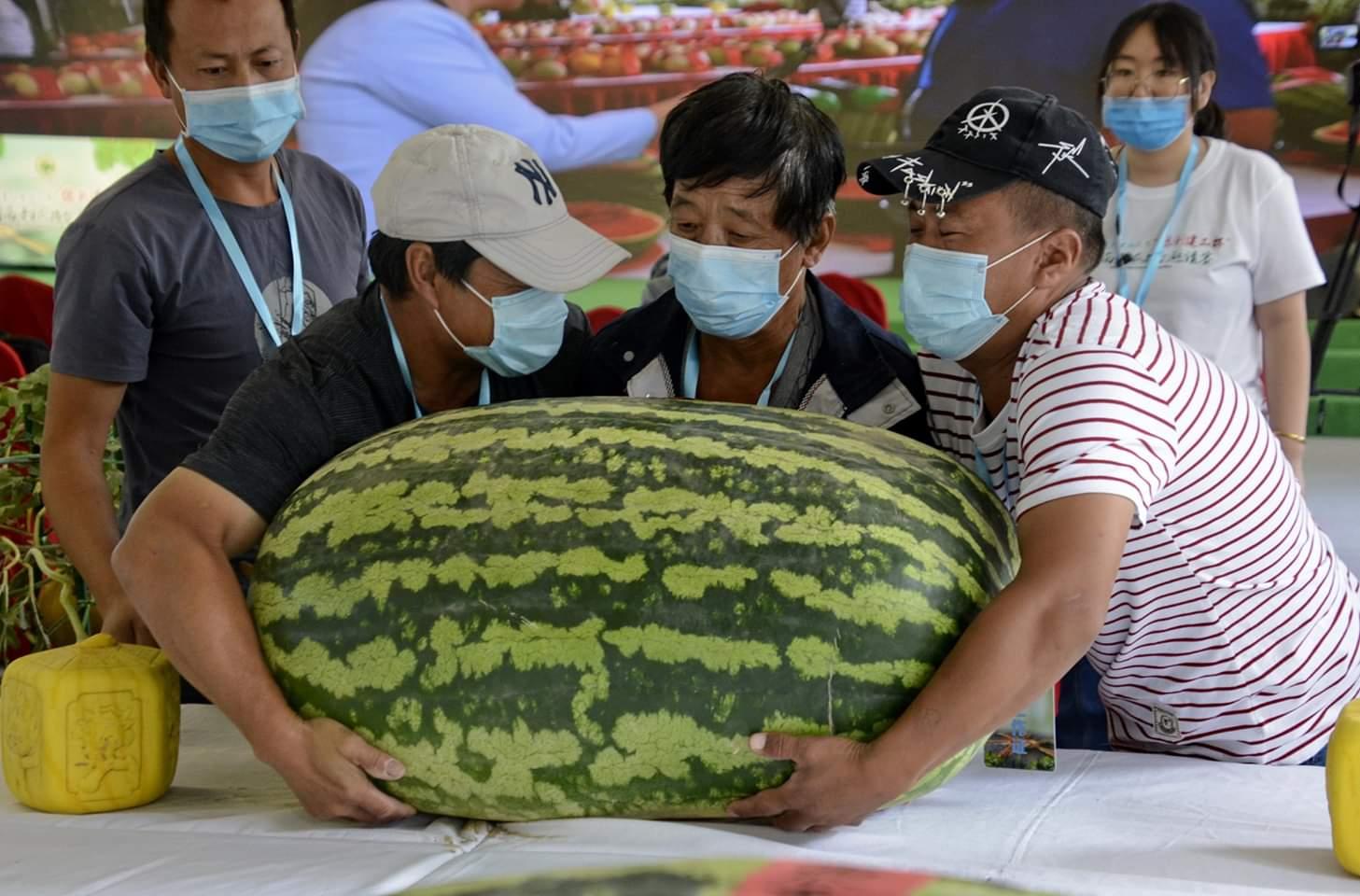 في الصورة الملتقطة يوم 28 مايو 2020، عمال يحملون بطيخة ضخمة تزن 86.3 كيلوغرام، في الدورة الـ32 لمسابقة البطيخ الوطنية المقامة في حي داشينغ ببكين.
