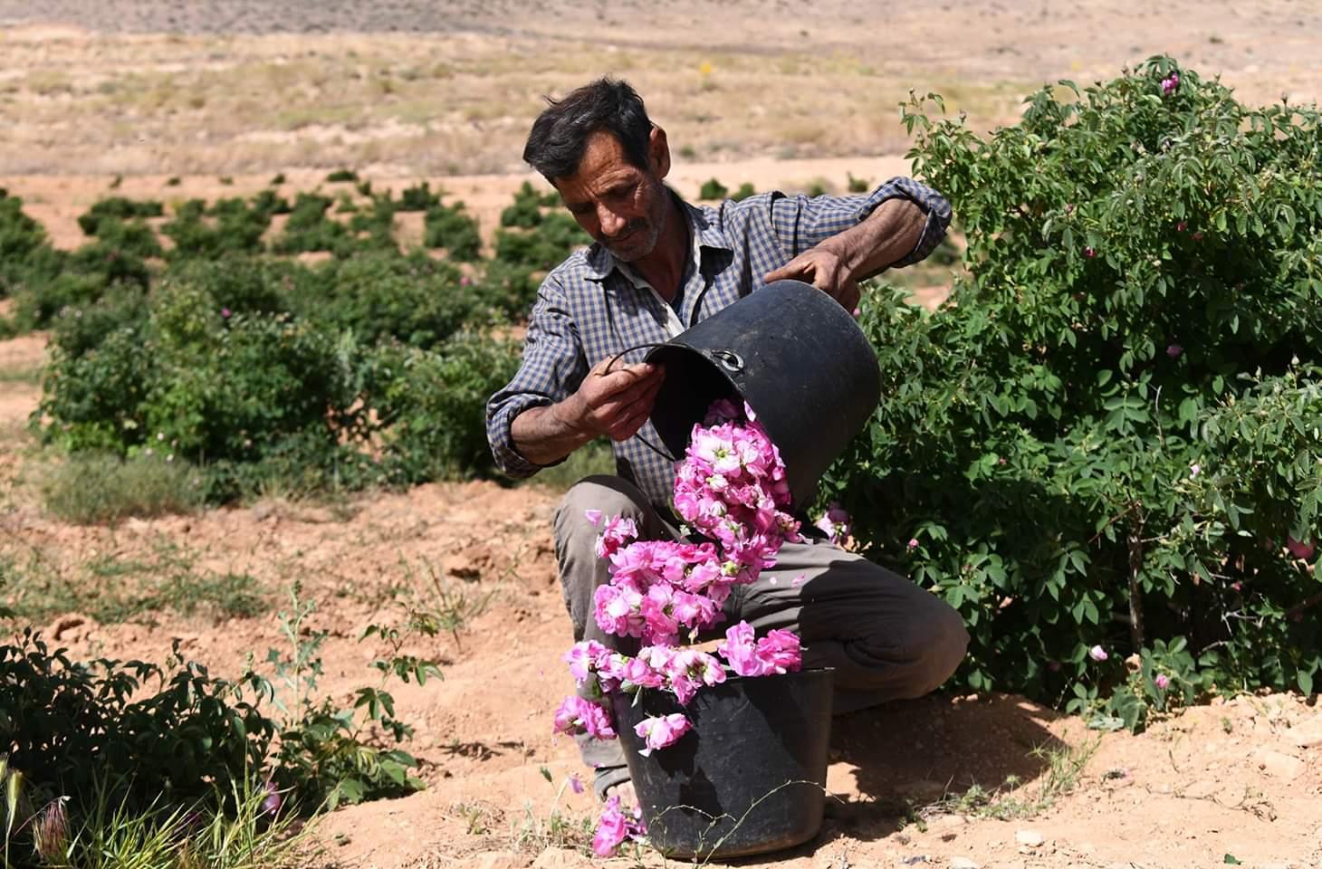 رجل سوري يشارك في عملية قطف الوردة الدمشقية أو كما تعرف باسمها الشائع الوردة الجورية في بلدة المرح، شمالي العاصمة دمشق، سوريا، في 27 مايو 2020.
