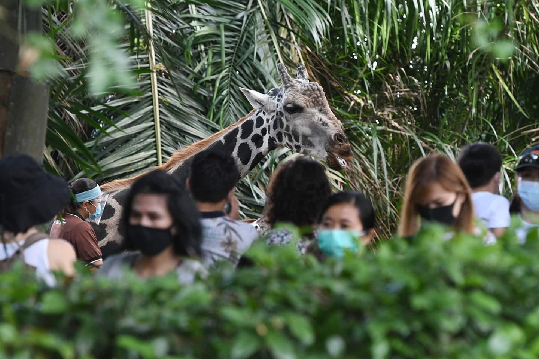 زائرون بالكمامات يطعمون زرافة في حديقة حيوان سنغافورة في 6 يوليو 2020. وأعيد افتتاح حديقة حيوان سنغافورة أمام الجمهور يوم الاثنين بعد تخفيف إجراءات الإغلاق التي فرضت لمكافحة جائحة كوفيد-19.