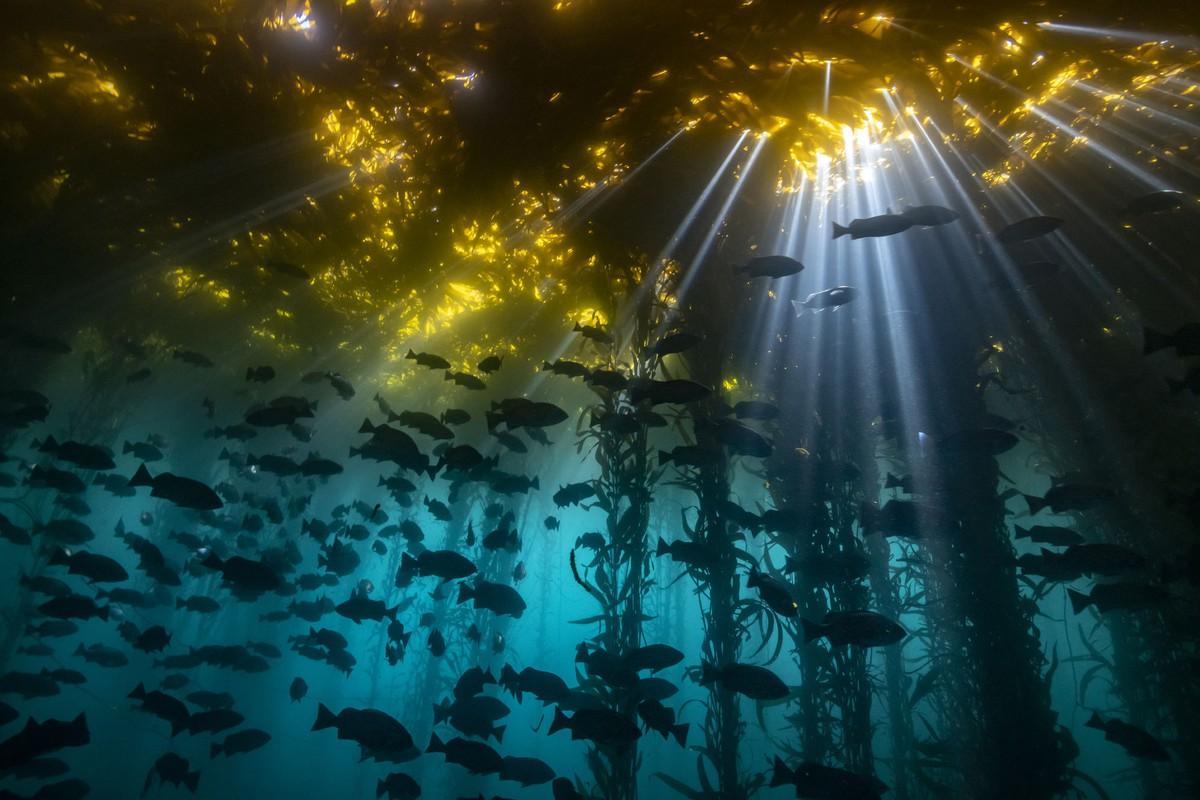كاتدرائية عشب البحر: المركز الأول، الماء البارد. السمك الصخري الأزرق وعشب البحر العملاق نوعان مضمونان إلى حد ما في شاطئ كاليفورنيا - هذا إذا سمحت لك الظروف بالغوص في هذا الموقع. اتجاه الشاطئ يتركه معرضًا إلى حد ما لأمواج واردة من المحيط المفتوح، مما يجعل من الصعب أو المستحيل الغوص بأمان. في العديد من الأيام، عندما يمكن القيام بالغوص بأمان، فإن الضباب الساحلي الكثيف يحجب أشعة الشمس بالكامل تقريبًا، وتقلل البويلرات الغنية بالمغذيات من الرؤية إلى بضعة أقدام فقط وتلقي بضباب أخضر في الماء. في مناسبات نادرة، تصطف النجوم على شاطئ الدير، مما يوفر بحارًا هادئة ورؤية رائعة وأشعة ضوئية شبيهة بالكاتدرائيات تخترق مظلة عشب البحر.